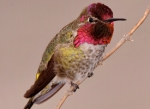 annas_hummingbird_glamor